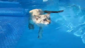 O pisică înoată în piscină. IMAGINILE care te cuceresc
