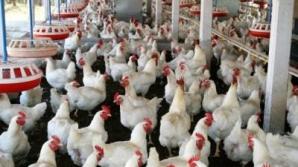 Crescătorii de porci și păsări vor putea accesa din nou sprijinul pentru bunăstarea animalelor
