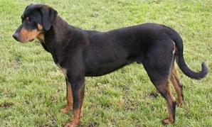 COPOIUL ARDELENESC, singura rasă de câini de vânătoare creată din România