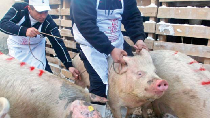 ANSVSA atenţionează asupra riscului de pestă porcină africană în România
