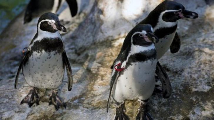 Pinguinii din Marea Britanie primesc medicamente împotriva depresiei
