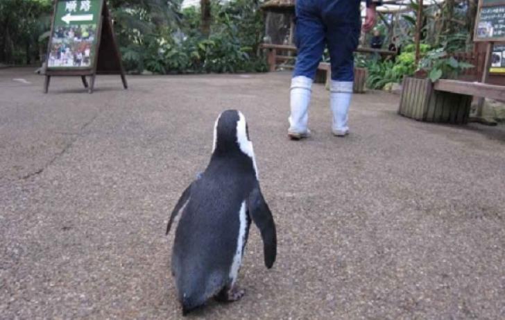 Pinguinul care a devenit un adevărat simbol în Japonia