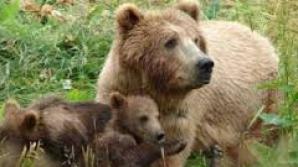 Doi pui de urs găsiţi de pădurari în Braşov, duşi într-un adăpost din judeţul Harghita