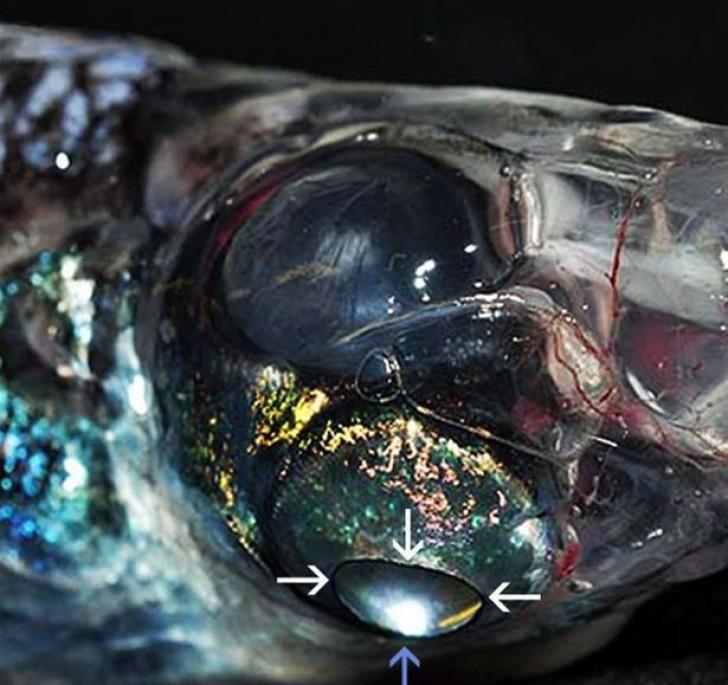 Creatura are patru ochi şi poate vedea la un unghi de 360 de grade