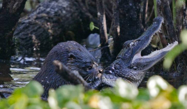 Momentul în care o vidră atacă un aligator