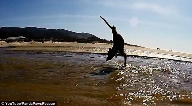 Duncan, la prima alergare pe plajă. În ciuda handicapului său....câinele boxer e rapid