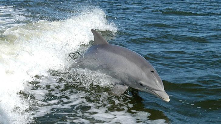 Rusia a preluat controlul asupra delfinilor ucigași ucrainieni