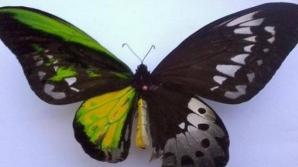 Acest fluture este pe jumătate femelă şi pe jumătate mascul.