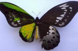 Acest fluture este pe jumătate femelă şi pe jumătate mascul
