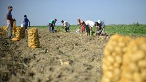 România, țara care va rămâne fără producție internă de cartofi