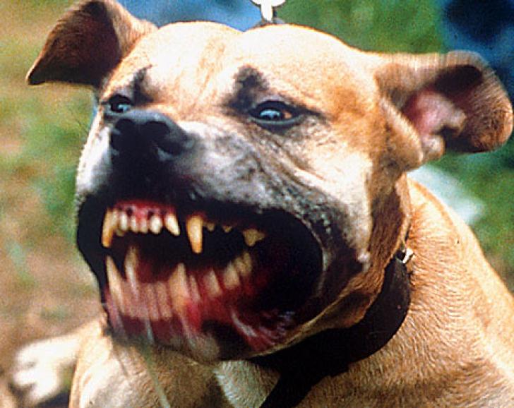 Luptă ilegală câini Gorj
