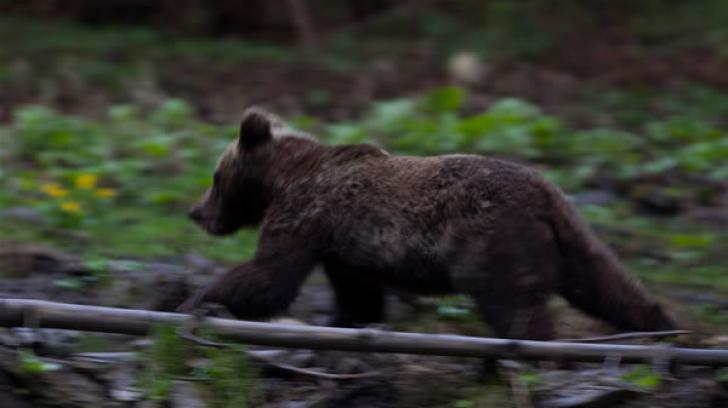 Ursul, considerat emblemă pentru Carpați, amenințat de braconaj, fragmentarea habitatelor, defrișări și tăieri ilegale de pădure