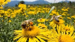 Albinele pot ajuta la depistarea minelor din Balcani