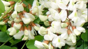 Tratamente naturiste cu flori de salcâm: Combat stresul, migrenele şi tulburările digestive