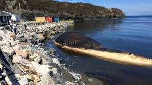 Cetatenii dintr-o localitate din Canada sunt ingroziti de faptul ca o balena esuata pe plaja din localitate ar putea sa explodeze in orice moment.
