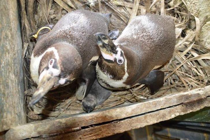 Doi pinguini gay au adoptat un ou abandonat