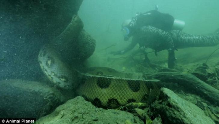 Anaconda găsită de Jeremy Wade în apele Amazonului avea cel puţin 6 metri lungime.