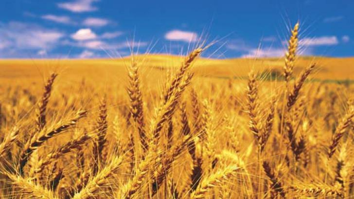 Cultură de grâu