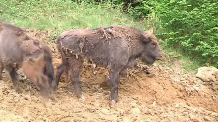 Zimbrul, din nou în România