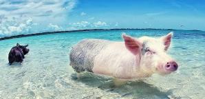 Porcii nu zboară, dar înoată