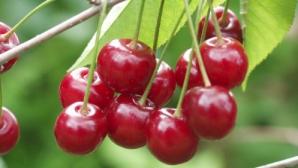 Efectele benefice ale ceaiului de cozi de cireşe