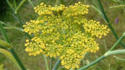 Beneficiile seminţelor de fenicul. Combat stresul şi previn cancerul