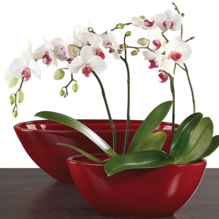 Orhideea, vampir energetic