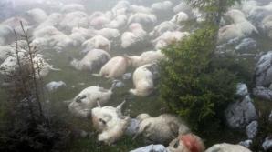 Sute de cadavre de oi au atras urşii