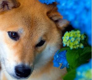 Marutaro, cel mai frumos câine din lume