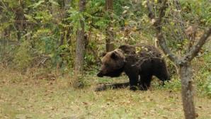 Incident: cum a speriat un urs o comunitate întreagă