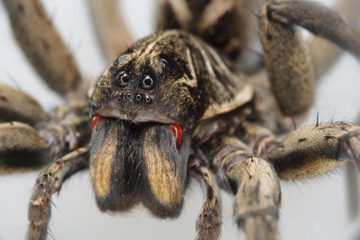 Invazia păianjenilor-lupi i-a îngrozit pe localnici. IMAGINILE sunt ŞOCANTE