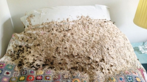 Patul în care viespile şi-au făcut cuib