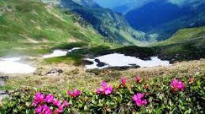 Plantă rară, redescoperită în Parcul Național Munții Rodnei după 11 decenii