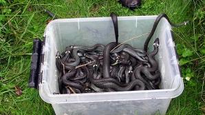 Invazie de şerpi în Timiş