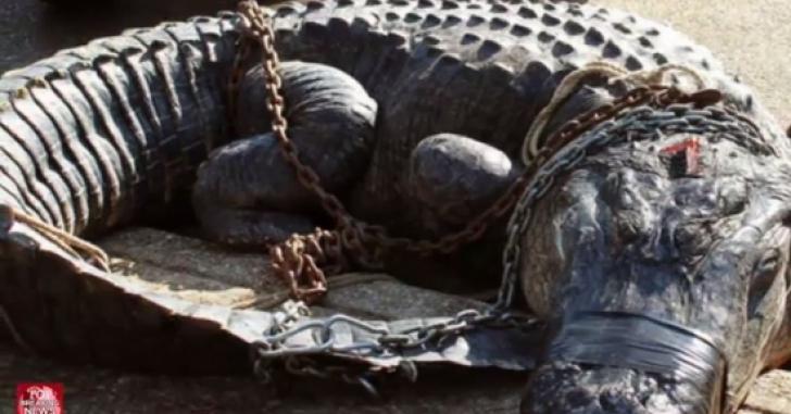 Vânătorii au prins un aligator uriaş în Alabama