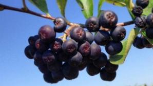 Fructele de aronia, o noua speranta in lupta impotriva cancerului