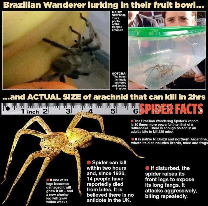 Muşcătura acestui păianjen ucide în câteva minute