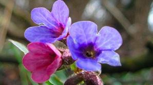 Plămânărica, planta minune pentru sistemul respirator