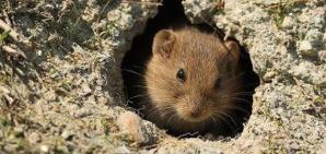 Anul Şoarecilor pentru fermierii români