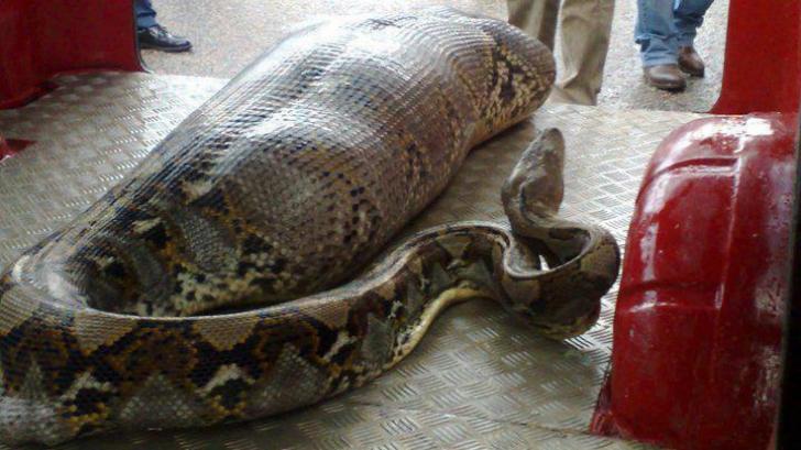 ÎNSPĂIMÂNTĂTOR. Omul mâncat de viu de o anaconda uriaşă