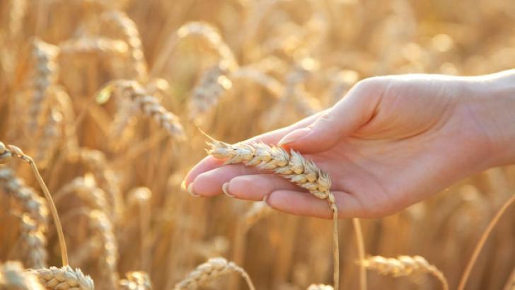 Recoltele de grâu le-ar putea aduce venituri frumoase fermierilor