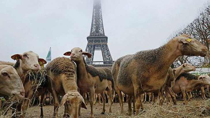Fermierii francezi şi-au adus OILE la Turnul Eiffel în semn de protest faţă de lupii protejaţi