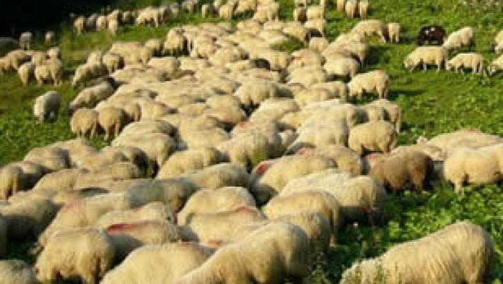Zeci de oi, UCISE DE LUPI la o stână din judeţul Arad