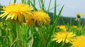 Plante care calmează alergiile