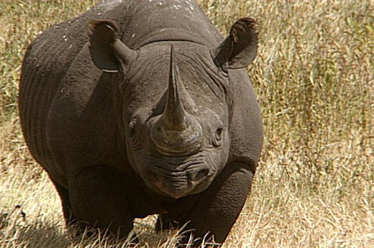 Premieră în ultimii 18 ani: Un pui de rinocer negru s-a născut la grădina zoologică din Zurich