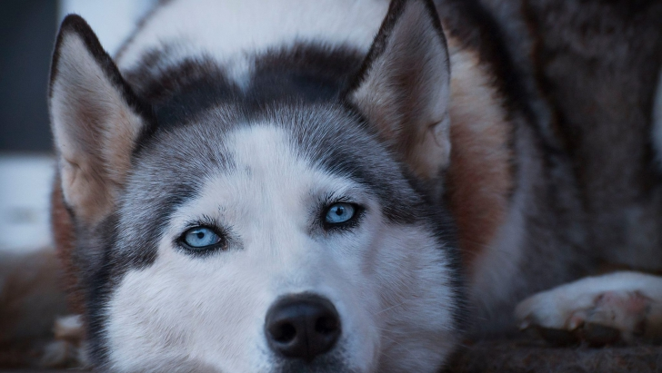 Un husky dintr-o clinică veterinară a uimit pe toată lumea! Ce a făcut după ce a scăpat din cușcă