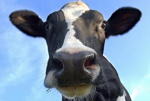 Caz atipic de boala vacii nebune, în Covasna