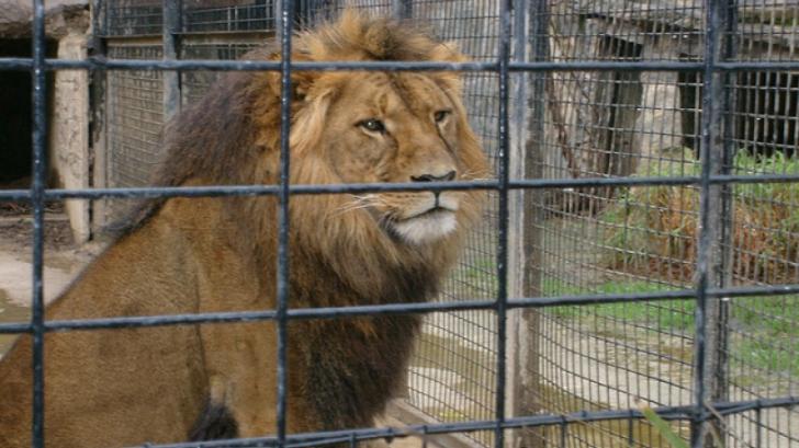 Copil RĂNIT de o leoaică la ZOO. POLIȚIA A DESCHIS o anchetă