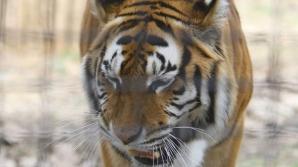 Un tigru de la Zoo a scăpat de depresie cu ajutorul a doi şoricei