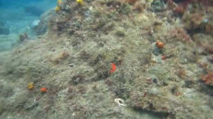 Incredibila capacitate de camuflare a caracatiţelor